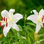 White lily flower closeup — Stock Photo