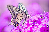 Pieridae butterfly sipping nectar from pink Phlox — Stock Photo