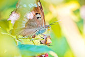 Pieridae butterfly — Stock Photo