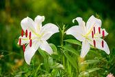 Beyaz zambak çiçeği portre — Stok fotoğraf
