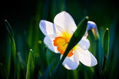 Closeup of daffodil, narcissus geranium, with green background in spring — Stock Photo