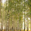 Summer birches grove — Stock Photo #23809449