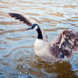 The Goose — Foto de Stock