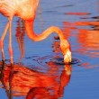 Pink flamingo in sunshine — Stock Photo #2583666
