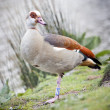 The Egyptian Goose  — Stock Photo