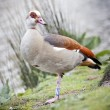 The Egyptian Goose — Stock Photo #27448299