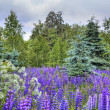 Summer landscape with field of lupines — Stock Photo