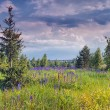 Summer landscape with field of lupines — Stock Photo #27449191
