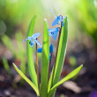 Scilla - blue spring flowers. — Stock Photo