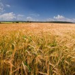 Summer landscape with rye field — Stock Photo
