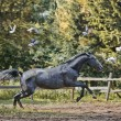 Grey horse in a paddock — Stock Photo