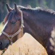 Chestnut horse in a field — Stock Photo #31556873