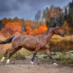 Chestnut horse run across autumn lake — Stock Photo