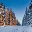 Winter Forest with spruces in sunlight — Stock Photo