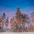 Stock Photo: Winter Forest with spruces in sunlight