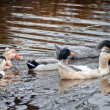 Domestic ducks in a pond — Stock Photo