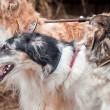 Stock Photo: Borzoi dog portrait