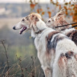 Borzoi dog portrait — Stock Photo #36417601