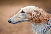 Borzoi dog portrait — Stock Photo