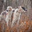 Borzoi dog portrait — Stock Photo #36564325