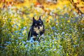 Long-hair Chihuahua dog — Stock Photo
