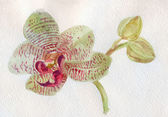 Orchid Phalaenopsis Sorrento — Stock Photo