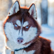 Stock Photo: Husky dog portrait