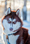 Husky dog portrait — Stock Photo