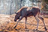 Female Eurasian elk — Stock Photo