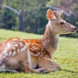 The spotted deer — Stock Photo