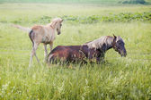 Silver-black horse with her foal — Stock Photo