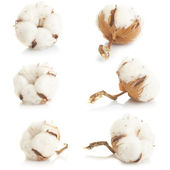 Cotton plant — Stock Photo