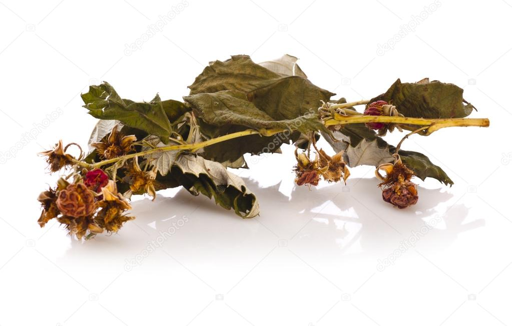 Herbal medicine : dry raspberry leaves   — Stock Photo #14154603