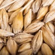 Stock Photo: Background of malt