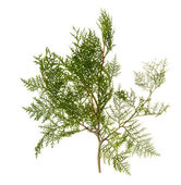 Branch of thuja tree — Stock Photo