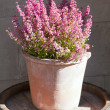 Heather flowers in a pot — Stock Photo