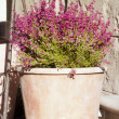 Heather flowers in a pot - Zdjęcie stockowe