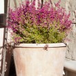 Heather flowers in a pot - Stock Photo