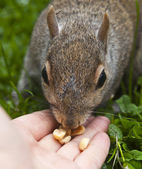 Squirrel eating from the hand — Photo