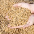 Wheat Grains in hands - Stok fotoğraf