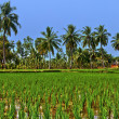 Ricefield in Hampi, India — Stock Photo