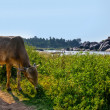 Calf against picturesque view of Hampi - 