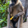 Gray langur eating banana in Hampi - Stock Photo