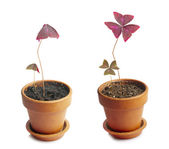 Oxalis regnellii cultivar in day and night — Stock Photo