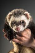 Cute polecat on hands — Stock Photo