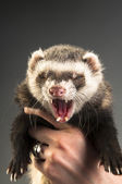 Yawning polecat on hands — Stock Photo