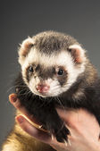 Polecat on hands — Stock Photo