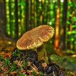 Mushrooms in the forest — Stock Photo
