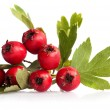 Herbal medicine: Hawthorn berries — Stock Photo