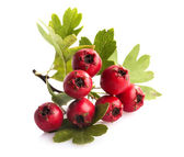 Herbal medicine: Branch of crataegus berries — Stock Photo